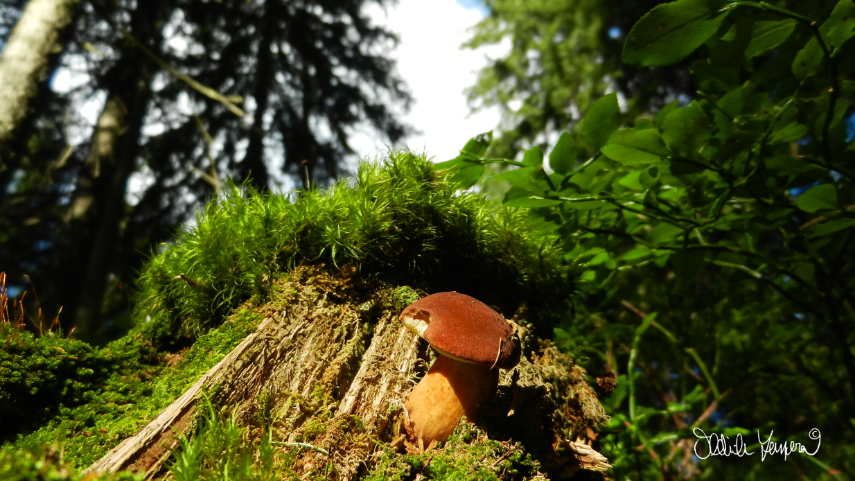 Šumavské lesy a hvozdy jsou skvělým prostorem pro pěstování dvou českých národních koníčků!! Oblíbené houbaření a sbírání borůvek tady má odvěkou tradici a plody z čisté přírody jsou hotový lék :-)